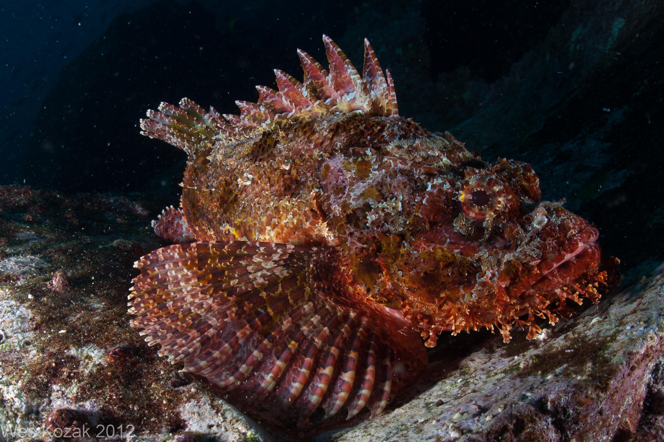 Scorpion Fish Vs Lion Fish